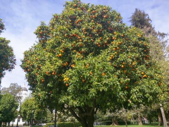 Citrus aurantium, the Seville orange tree.