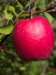 Pinkish red apple, similar to the fruit of the First Kiss Apple tree