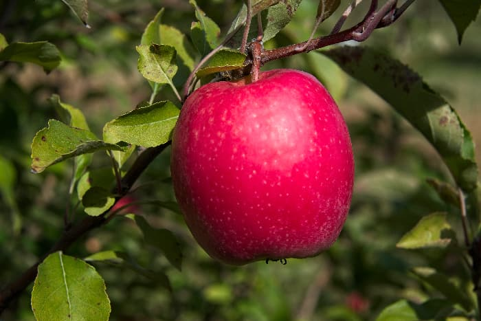 Closeup of a single pinkish red apple that is very similar to an apple from the First Kiss Apple tree