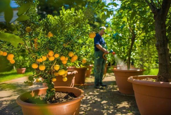 Watering the Chinotto Orange Tree.