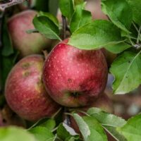 Stayman Apple tree apples growing on a branch.