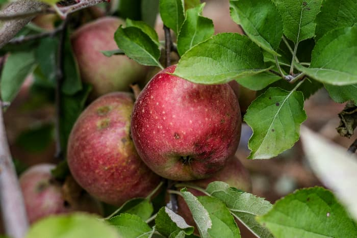 Apples growing on the branch of a Stayman Apple tree.