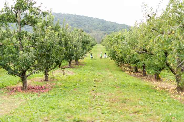 Apple orchard in the beautiful Virginia countryside.