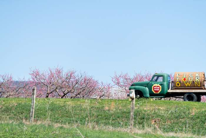 Hartland Orchard with apple trees in bloom, one of the best apple orchards in Virginia.
