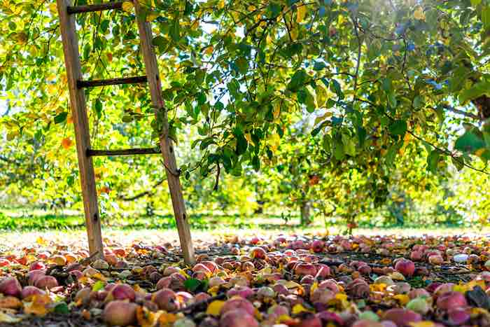 Get apple picking at one of the best apple orchards in Virginia!