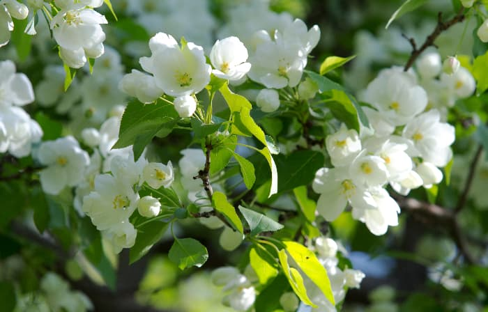 Closeup of white apple blossoms, similar to those of the SnowSweet Apple tree
