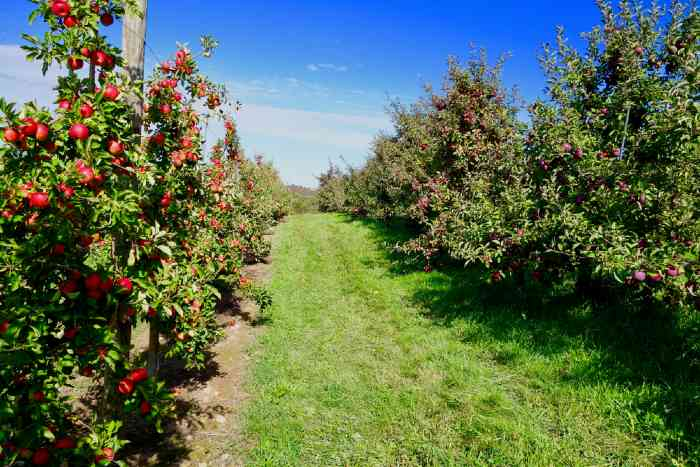 Apple orchard trees with grass path
