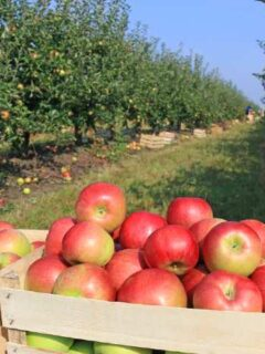 Fresh picked apples in apple orchard.