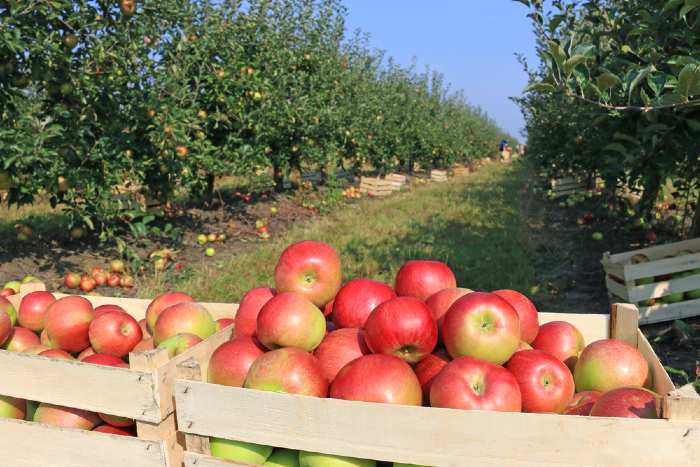 Picked apples in crates in an apple orchard.