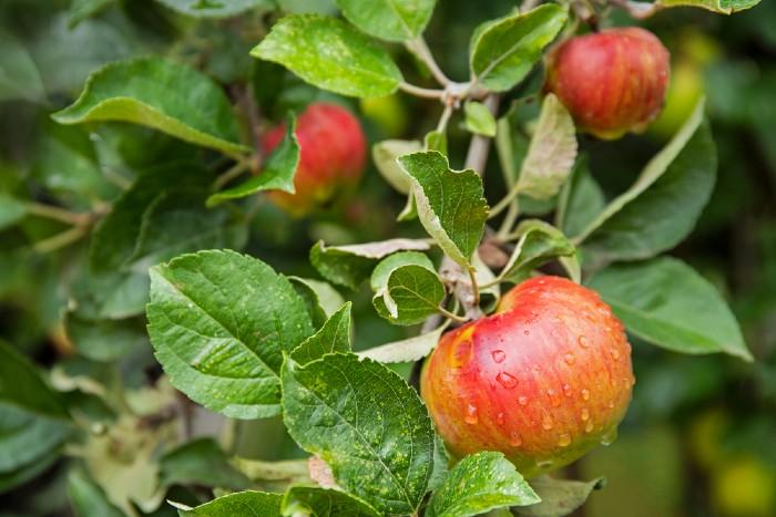 Fresh apples on an apple tree.