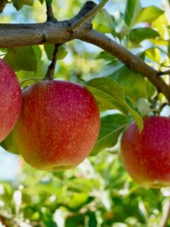 Apples on a tree in PA orchard.