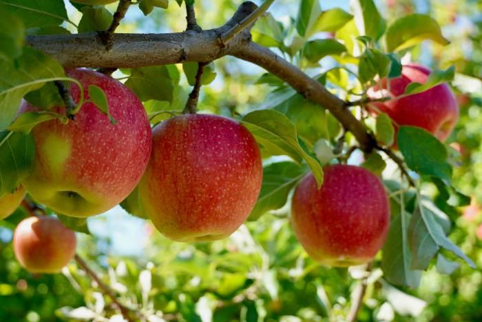 Apples on a tree at Sunrise River Farm