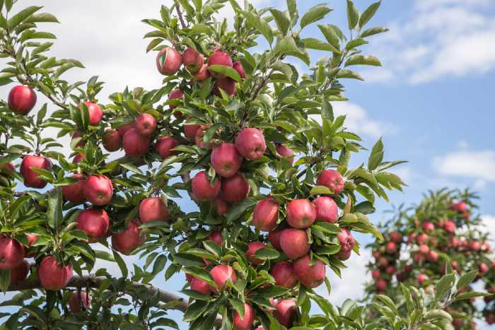 Branches loaded with red delicious apples