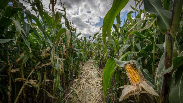 Corn maze in the fall