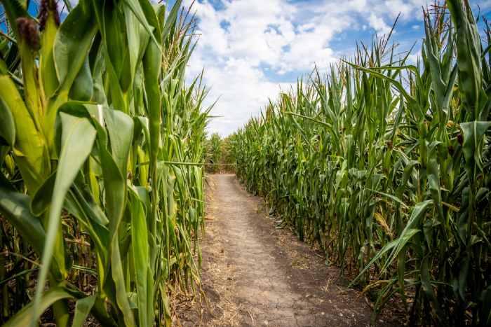 Corn Maze in field
