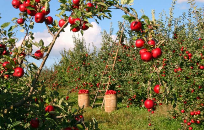 Picking apples is an activity nearly all of the best apple orchards in Georgia offer to the public.