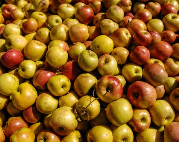 Closeup of apples picked in Blue Ridge -- the location of some of the best apple orchards in Georgia.