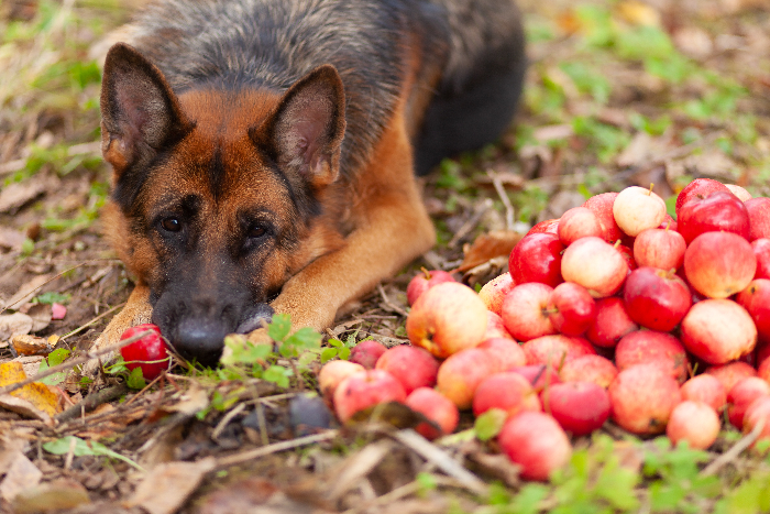 Closeup of a German Shepherd dog lying down next to pile of picked apples -- leashed dogs are welcome at one of the best apple orchard in Georgia
