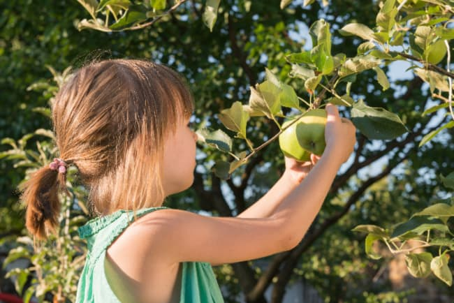 A young girl picking a Granny Smith apple from an apple branch -- Granny Smiths can be found at the best apple orchards in South Carolina.
