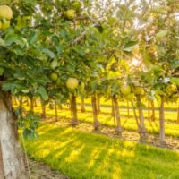 An orchard of yellow apple trees