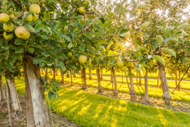 Apple orchard trees with ripe yellow apples -- a common sight at the best apple orchards in Ohio.