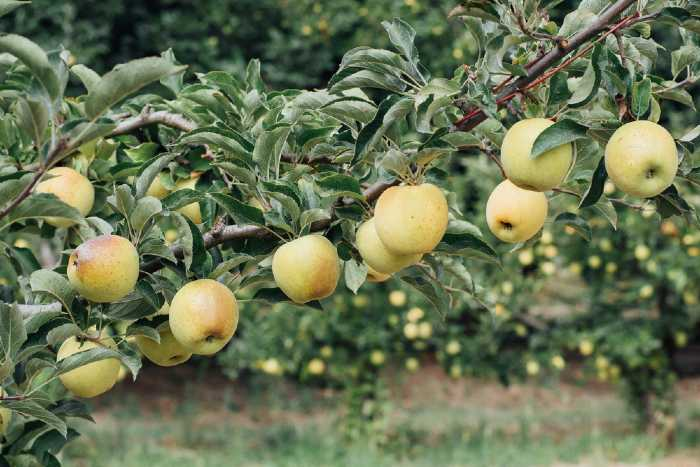 Green apples on trees in apple orchard