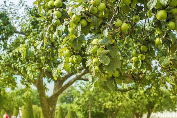 Apple trees full of green apples