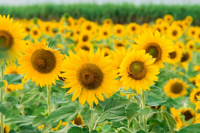 Closeup of a field of sunflower growing in Indiana -- sunflower festivals are an event at some of the best apple orchards in Indiana.