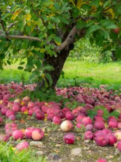 Apples lying on the ground around apple trees on a farm -- a common sight at many of the best apple orchards in Massachusetts