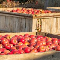 Apples at one of the best apple orchards in Michigan.