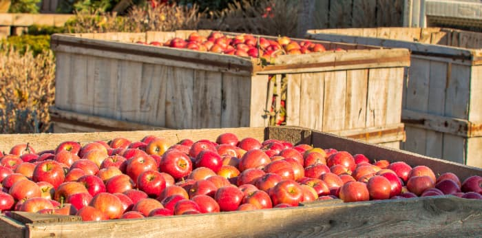 Large boxes of picked apples, a common sight at  the best apple orchards in Michigan.