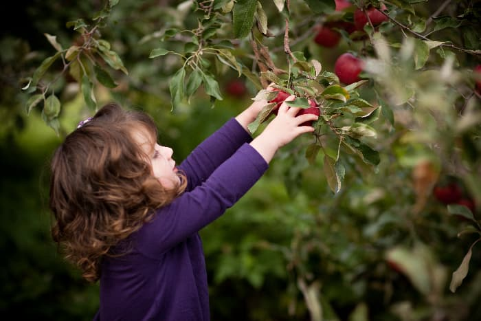 Young girl reaching for red apples on a tree branch.  Picking apples at some of the best apple orchards in Ohio is an activity that many children will enjoy.