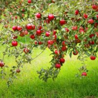 Red apples in trees grow