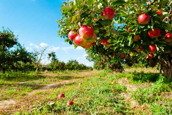 Apples on trees in apple orchard