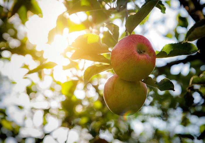 apples on tree in sun