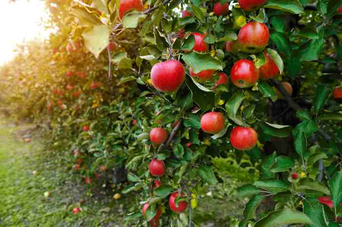 Apples on apple trees in an apple orchard