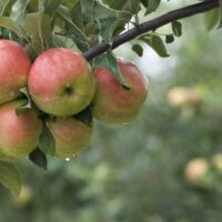 ripe apples on the branch