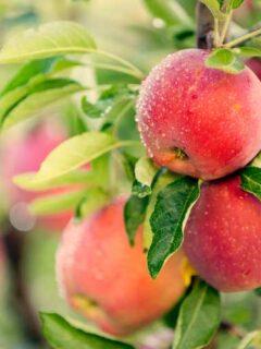 Apples on branch of apple tree