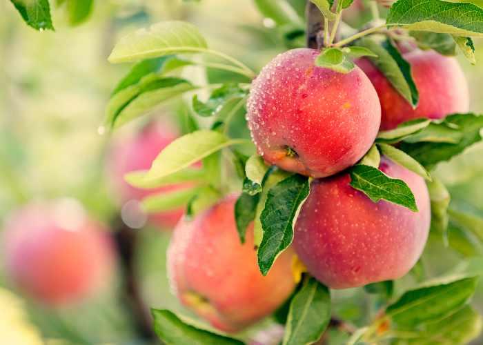 Apples on tree branch