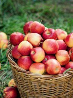 Basket of picked apples