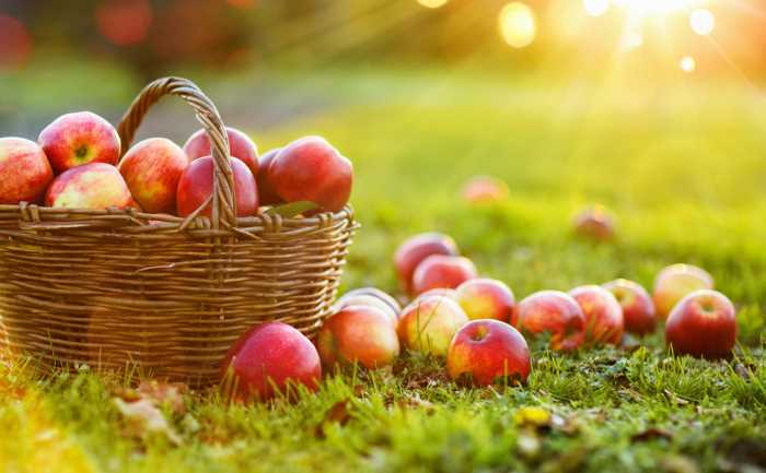 baskets of ripe red apples sitting in the sunlight.