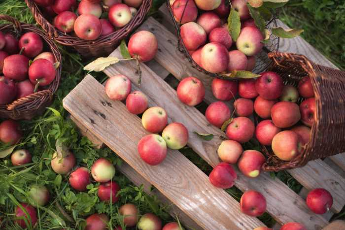 Overhead view of apples spilling from a basket onto a small wooden pallet.  Montgomery Orchard offers visitors twelve varieties of apples to pick.