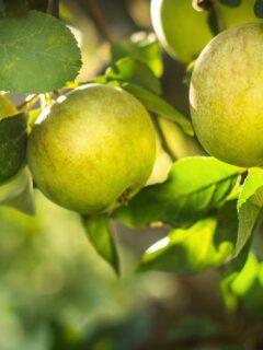 Green apples on apple tree