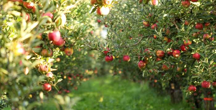 ripe red apples hanging in the morning sun