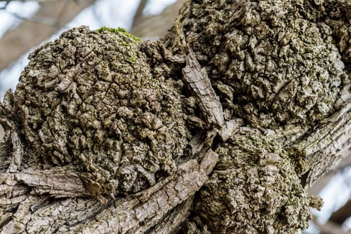 """Closeup of knobby """"tumors"""" caused by crown gall, a blueberry bush disease."""