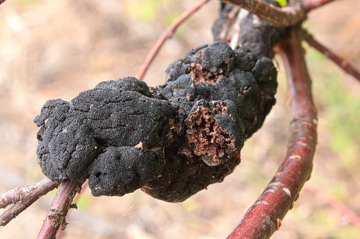 Closeup of the cherry tree disease, black knot, which is caused by the fungus, Apiosporina morbosa.