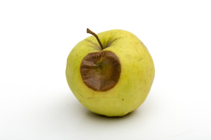 Closeup of a yellow apple with a sunken brown lesion closely resembling bitter rot.