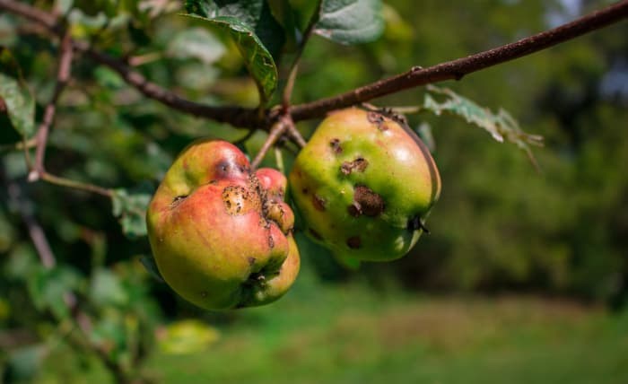 Closeup of two wild apples with pitting closely resembling the pits caused by cork spot.
