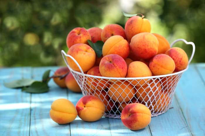 Closeup of a white wire basket of ripe, picked apricots on a table.