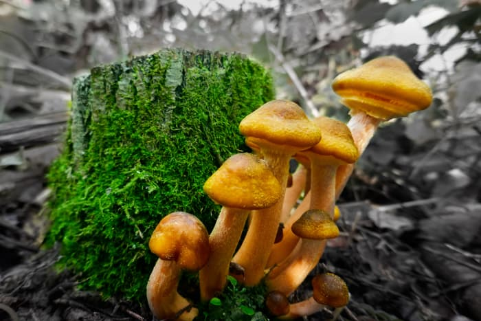 A closeup of the mushrooms that the Armillaria Mellea fungus produces, the cause of the blueberry bush disease, Armillaria root rot.